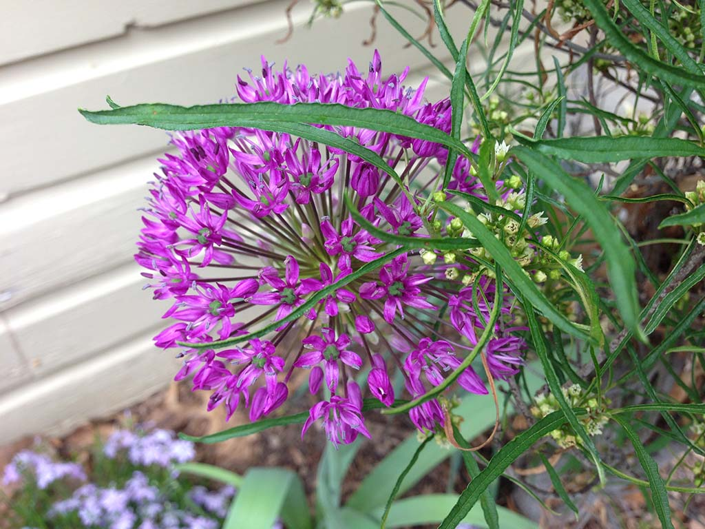 Alium Chartreus Lincoln NE Garden