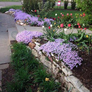 Purple Tulips Garden Lincoln NE